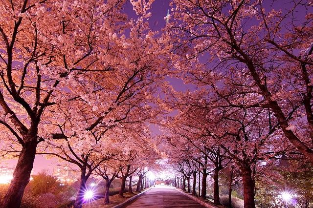 Lễ hội hoa anh đào, một trong những lễ hội đầu năm được du khách yêu thích nhất ở Hàn Quốc