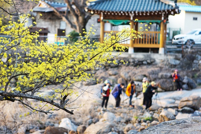 Khung cảnh thơ mộng ở làng Seomjin khi lễ hội hoa mai quốc tế Gwangyang đến