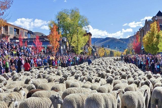 Những chú cừu diễu hành trên đừng phố Ketchum