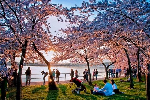 Khách du lịch khắp nơi đổ về thủ đô Washington D.C ngắm hoa anh đào