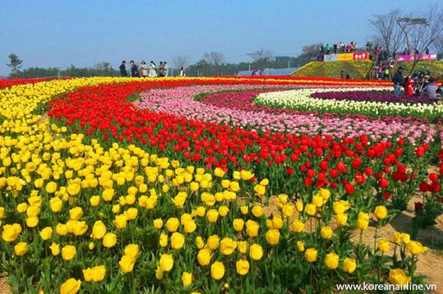 Lễ hội hoa Tulip ở Hàn Quốc được tổ chức vào mùa xuân hàng năm