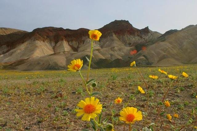 """""""Rừng hoa dại"""" giữa sa mạc diễn ra 10 năm 1 lần thu hút du khách"""