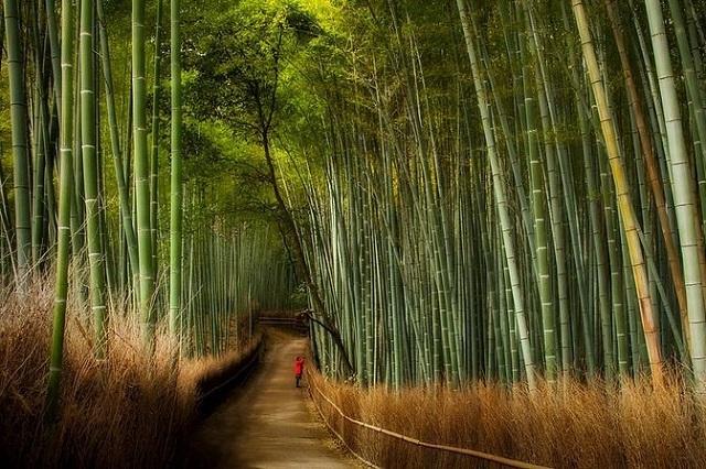 Khung cảnh rừng tre Sagano tựa như cảnh vật trong một câu chuyện cổ tích
