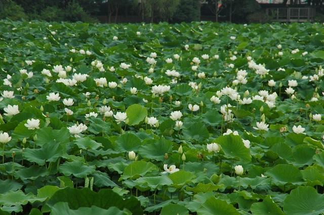 Muan là địa phương có diện tích trồng sen trắng nhiều nhất ở Hàn Quốc