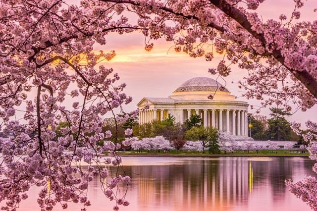 Lễ hội hoa anh đào – lễ hội tuyệt vời nhất vào mùa xuân ở Washington