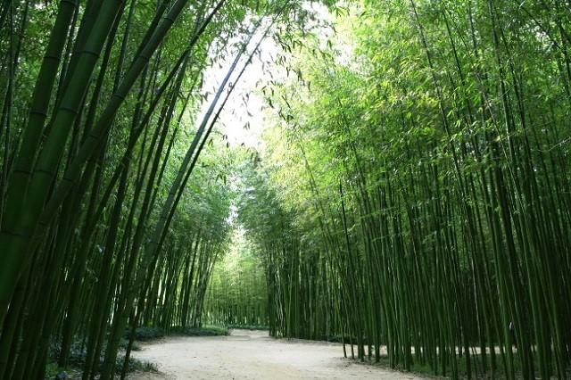 Tản bộ trong rừng tre xanh bạt ngàn là một trải nghiệm thú vị